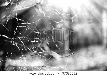 Horizontal black and white spring branches bokeh background