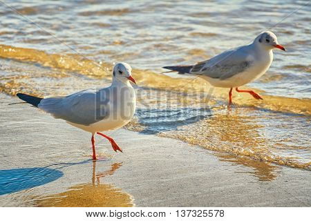 Seagulls on the Shore of Black Sea