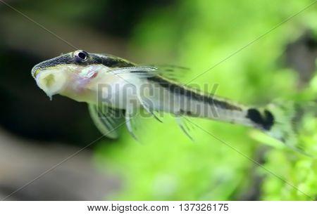 Close up of Otocinclus in planted aquarium