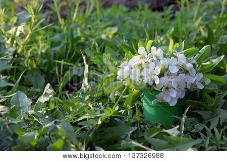 Cherry blossoms in a small decorative metal buckets on a meadow in the early morning. The sun's rays illuminate the bouquet. Spring. A fresh breath of nature in the early morning.