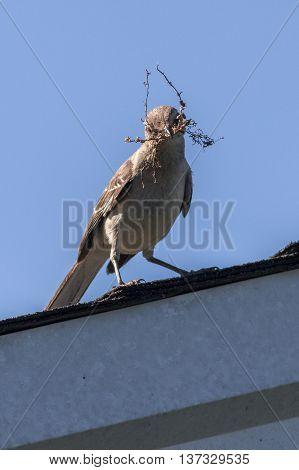 A Northern Mockingbird gathering nesting materials. Taken in Kentucky.