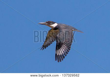 A Belted Kingfisher in flight. Taken in Kentucky.