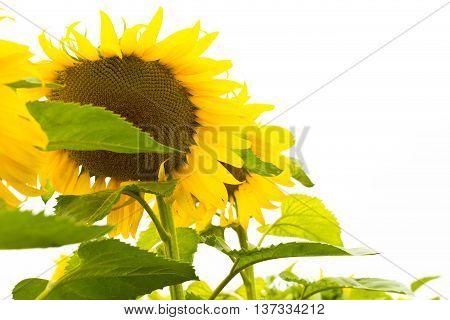 sunflower sunflower sunflower sunflower sunflower sunflower sunflower