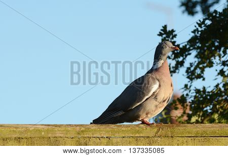 Plump wood pigeon - Columba palumbus - sits on a wooden fence in the early evening sun. Clear blue sky beyond offers copy space.