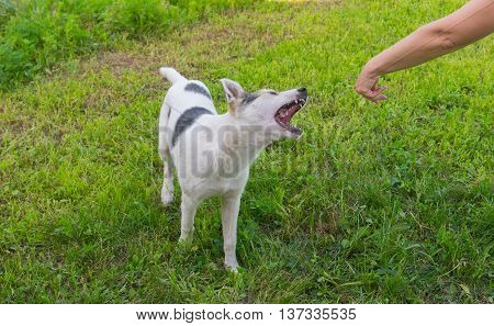 Young mixed breed dog is trying to bite human hand