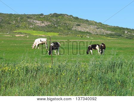 Cows Grazing, Darling Area, Cape Town South Africa