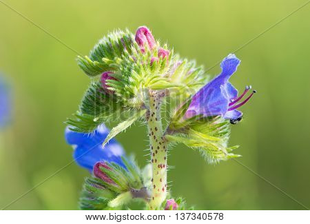 Viper's bugloss (Echium vulgare) inflorescence. Blue flowers and pink buds on a coarsely hairy plant in flower in the family Boraginaceae. Also known as blueweed