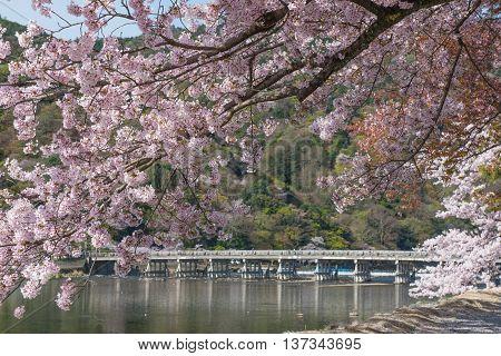Cherry blossom Arashiyama in spring, Kyoto Japan