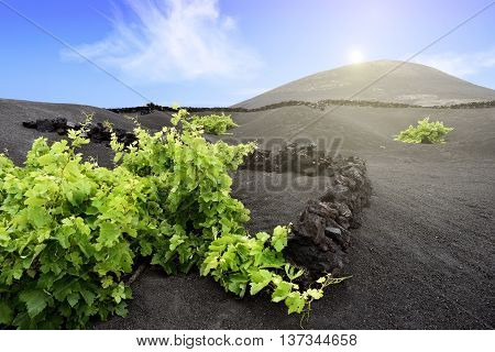 grapevine plants on volcanic hill in Lanzarote Island