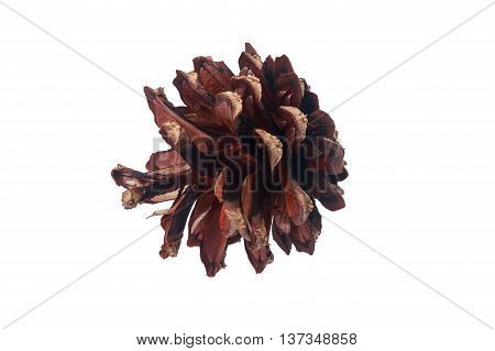 Matured and reset seeds pine cone on a white background
