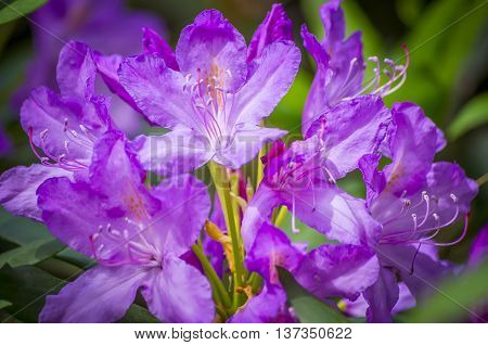Violet coloured rhododendron blooms in the sunshine.