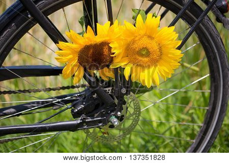 Bicycle with sunflowers between the spokes , wheat field