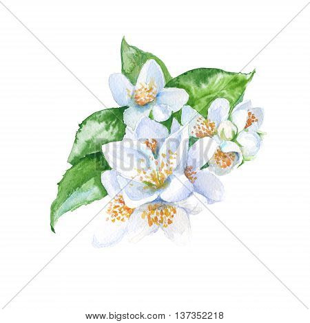 jasmine flowers branch with leaves. isolated. watercolor illustration.
