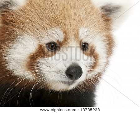 Close-up of Young Red panda or Shining cat, Ailurus fulgens, 7 months old, in front of white background