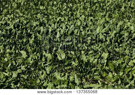 the agricultural field on which grows green beets for sugar production