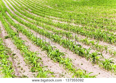 agricultural field where maize is grown, spring
