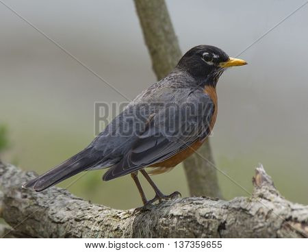 A beautiful American Robin perches on a low branch in a midwest spring woodland.