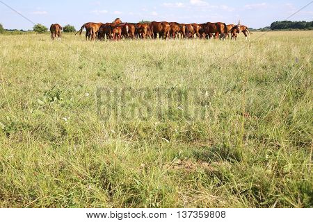 Thoroughbred Gidran Horses Eating Fresh Greengrass On The Puszta When The Sun Goes Down
