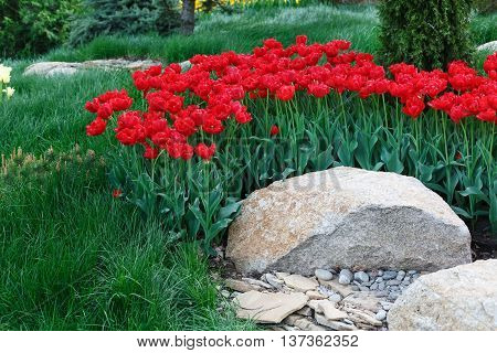 Beautiful scarlet red tulips flowerbed and stone rocks. Plenty of flowers background. Summer garden landscape design.