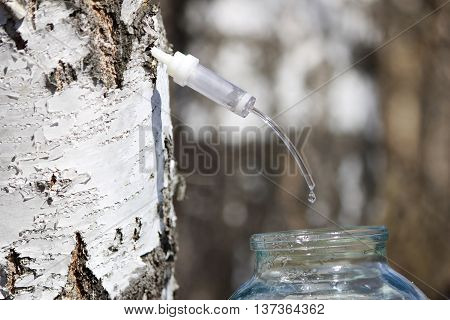 Collecting juice from birch how to get birch juice