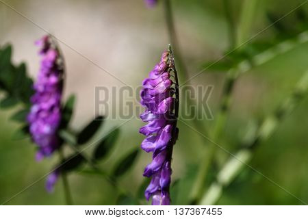 Flower of a tufted vetch (Vicia cracca)