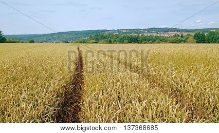 Tracks going through a golden field of wheat.