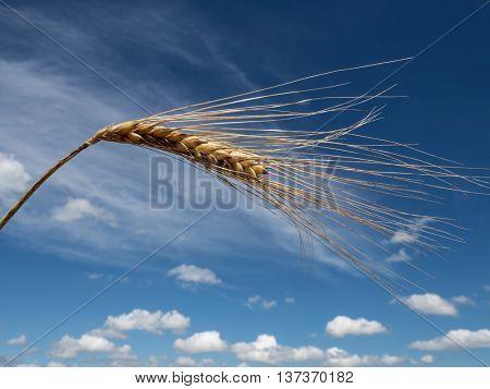 barley. ear of corn on field before harvest