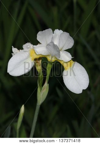 Iris albicans, also known as the cemetery iris, white cemetery iris, or the white flag iris, is a species of iris which was planted on graves in Muslim regions..