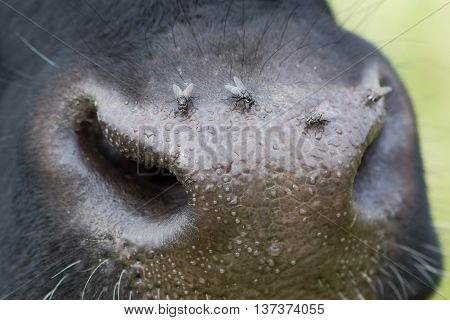 Cow's nose with flies on it. Livestock annoyed by insects attracted to wet nose around nostrils