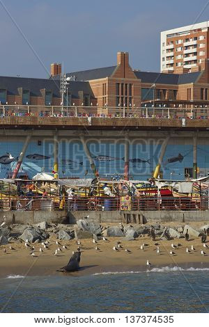 VALPARAISO, CHILE - JULY 5, 2016: American Sea Lions (Otaria flavescens), Kelp Gulls (Larus dominicanus) and Peruvian Pelicans crowd around the fish market in the port city of Valparaiso in Chile.
