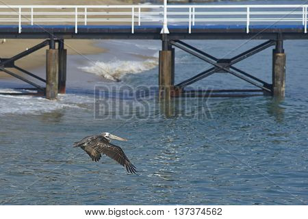 Peruvian Pelican (Pelecanus thagus) in flight over the sea at the fish market in the UNESCO World Heritage port city of Valparaiso in Chile.