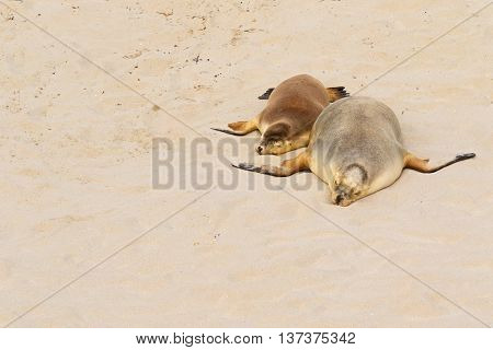 Two Australian Sea Lions sleeping on warm sand at Seal Bay, Sea lion colony on south coast of Kangaroo Island, South Australia