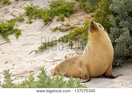 Sleepy moment for Australian Sea Lion resting on warm sand at Seal Bay, Sea lion colony on south coast of Kangaroo Island, South Australia