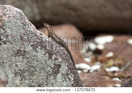 Lizard sunbathing at a rock at Seychelles islands