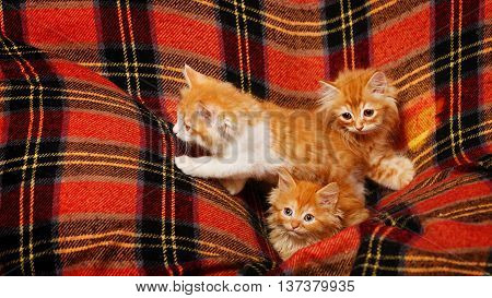 Three cute little red kittens hiding in the folds of tartan plaid. Pets. Funny animals.