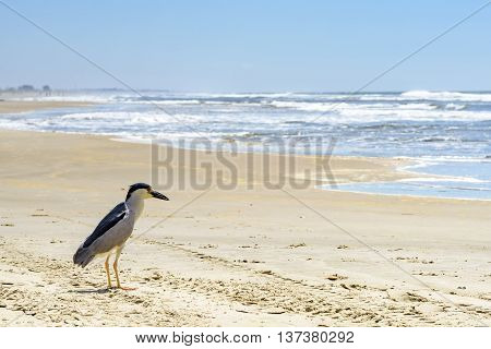 Black-crowned night-heron landed on the sandy beach of New Towers in Santa Catarina