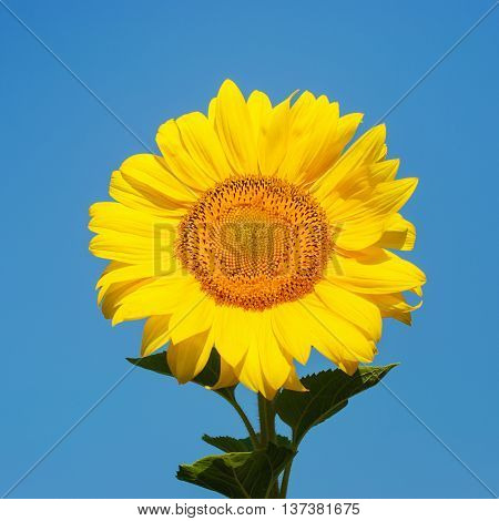 Beautiful yellow sunflower against blue sky. Summer.