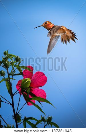 Rufous Hummingbird flying against blue sky background vertical image