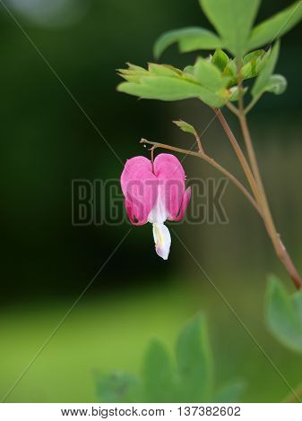 Single bleeding heart flower (Lamprocapnos spectabilis) against dark background, shallow depth of field (Bible verses: Ezekiel 36:26; 1 Samuel 16:7)