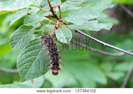 A hairy caterpillar of a moth on a plant
