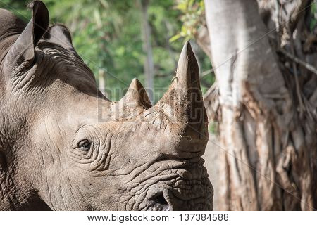 Close up of rhino horn in the nature