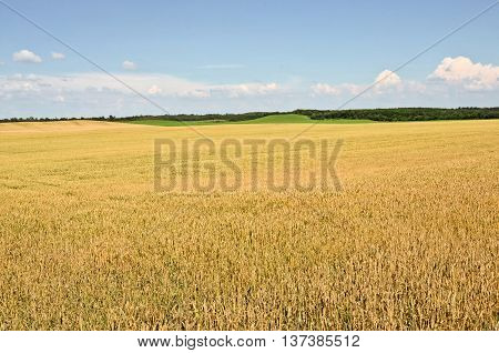 Wheat farmland in summer, agriculture in eastern Europe