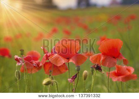 Red poppy flowers under dummer sun rays