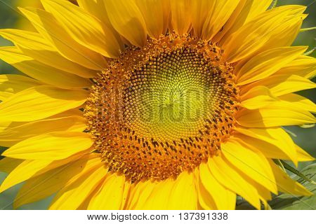 Closeup of a young blossoming yellow sunflower