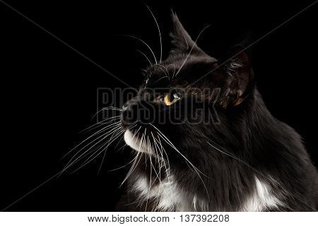 Closeup Portrait of Black Maine Coon Cat, Yellow eyes, Looking up, Isolated Black Background, Profile view