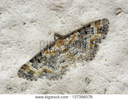 Foxglove Pug - Eupithecia pulchellata Small Moth