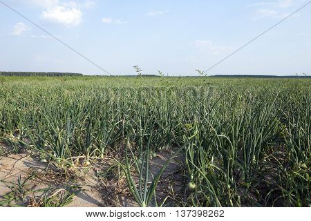 Agricultural field on which grow up green onions, summer, August. onion with different defect