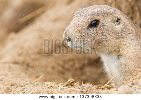 Head Of A Black-tailed Prairie Dog