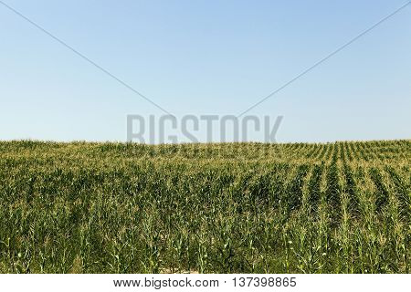 Agricultural field on which grow green immature corn, summer