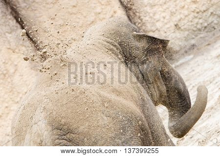 Young Asian Elephant (elephas Maximus) Throwing Sand, Selective Focus